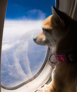 Dog-looking-out-airplane-window-thumb5098157